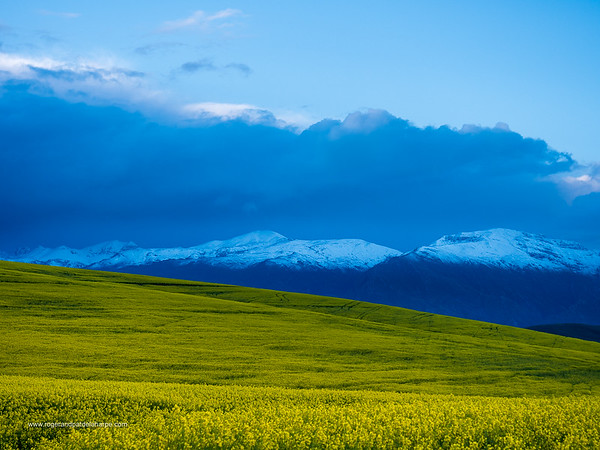 Image Number GX8P403196. Canola or rapeseed field and the snow covered Riviersonderend Mountains. Near Greyton. Overberg. Western Cape. South Africa