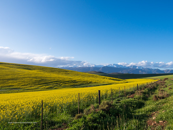 Image Number GX8P403175. Canola or rapeseed field and the snow covered Riviersonderend Mountains. Near Greyton. Overberg. Western Cape. South Africa