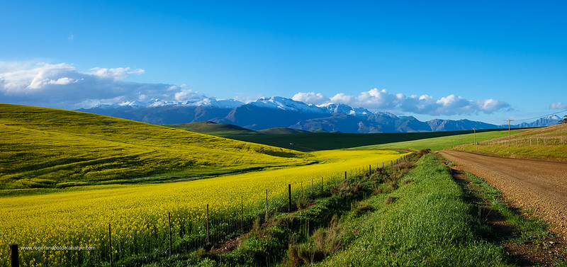 Image Number GH5R402767-Pano. Canola or rapeseed field and the snow covered Riviersonderend Mountains. Near Greyton. Overberg. Western Cape. South Africa