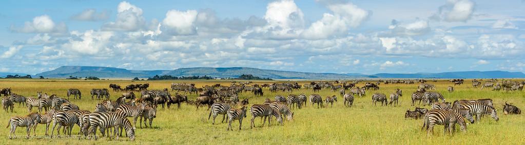 Plains zebra (Equus quagga, formerly Equus burchellii) and Blue wildebeest or common wildebeest, white-bearded wildebeest or brindled gnu (Connochaetes taurinus). Serengeti National Park. Tanzania