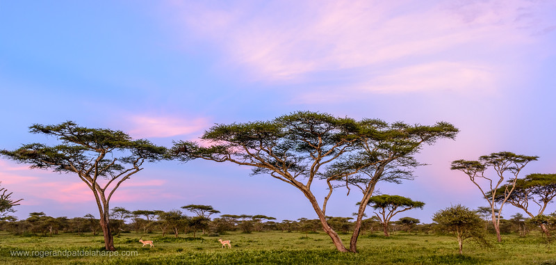 Thomson's gazelle (Eudorcas thomsonii) and Umbrella thorn acacia, also known as umbrella thorn and Israeli babool (Vachellia tortilis, prev Acacia tortilis) at Sunset. Ngorongoro Conservation Area (NCA). Tanzania