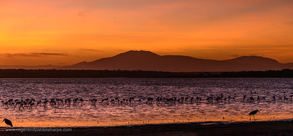 Greater Flamingo (Phoenicopterus Roseus) in Lake Ndutu with Mt. Lemagrut in the background. Ngorongoro Conservation Area (NCA). Tanzania