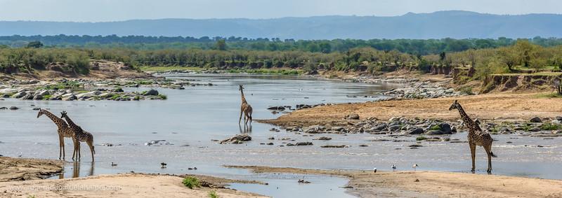 Masai giraffe, Maasai giraffe, or Kilimanjaro giraffe (Giraffa camelopardalis tippelskirchi) herd (or Journey of Giraffes) in the Mara River. Serengeti National Park. Tanzania
