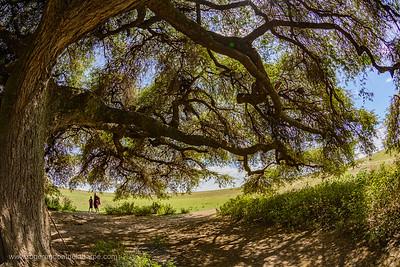 Apple-ring acacia, Ana tree, Balanzan tree and Winter thorn (Faidherbia albida syn. Acacia albida Delile) and Maasai warriors beneath it. Ngorongoro Conservation Area (NCA). Tanzania