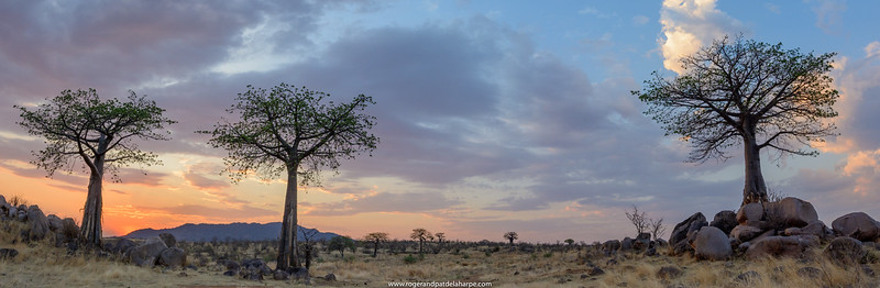 Sunset and Baobab, dead-rat tree (from the appearance of the fruit), monkey-bread tree (the soft, dry fruit is edible), upside-down tree (the sparse branches resemble roots) or  cream of tartar tree (Adansonia digitata). Ruaha National Park. Tanzania