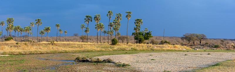 Scenic view with Lala (iLala) palm (Hyphaene coriacea). Ruaha National Park. Tanzania