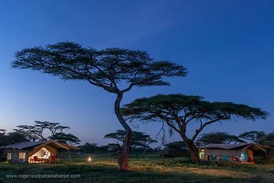 Wild Frontiers camp tents underneath Umbrella thorn acacia, also known as umbrella thorn and Israeli babool (Vachellia tortilis, prev Acacia tortilis). Ngorongoro Conservation Area (NCA). Tanzania