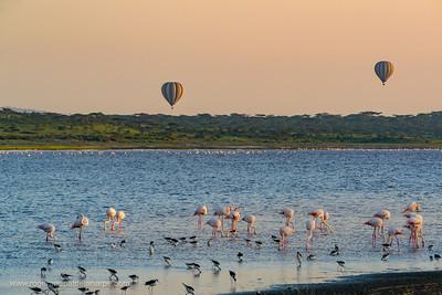 Greater Flamingo (Phoenicopterus Roseus) in Lake Ndutu with balloon safari on background. Ngorongoro Conservation Area (NCA). Tanzania