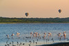 Greater Flamingo (Phoenicopterus Roseus) in Lake Ndutu with balloon safari on background. Ngorongoro Conservation Area (NCA). Tanzania