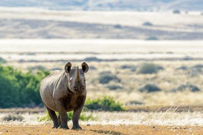 South Western Bblack Rhinoceros or Hook-lipped Rhinoceros (Diceros bicornis occidentalis).  Desert Rhino Camp. Palmwag Concession. Namibia.