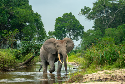 African forest elephant (Loxodonta cyclotis) in Lekoli River. Odzala-Kokoua National Park. Cuvette-Ouest Region. Republic of the Congo