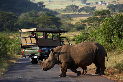 Tourists watching White Rhino (Ceratotherium simum) and calf from game drive vehicle. Hluhluwe Imfolozi Park. KwaZulu Natal. South Africa