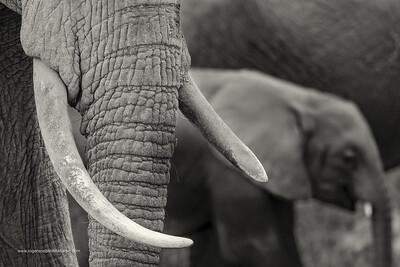 African bush elephant (Loxodonta africana) detail of tusks. Amboseli National Park. Kenya.