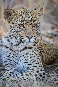Leopard (Panthera pardus). Deception Valley Lodge. Central Kalahari Game Reserve. Botswana