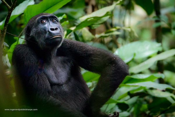 Western lowland gorilla (Gorilla gorilla gorilla) in Marantaceae forest. Odzala-Kokoua National Park. Cuvette-Ouest Region. Republic of the Congo