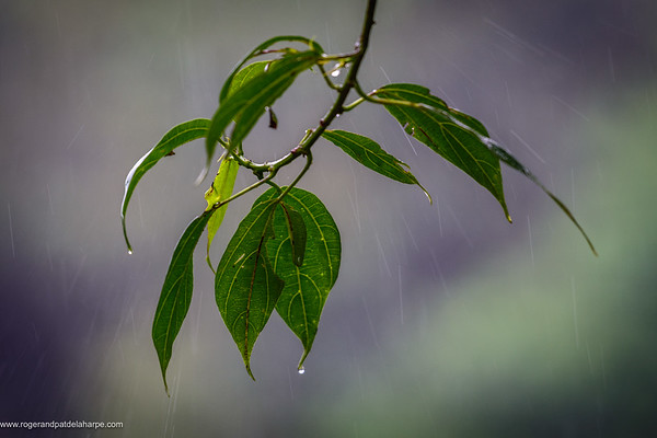 Wet leaves. Bwindi Impenetrable Forest. Uganda