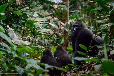 Western lowland gorilla (Gorilla gorilla gorilla) silverback and juveniles in Marantaceae undergrowth. Odzala-Kokoua National Park. Cuvette-Ouest Region. Republic of the Congo