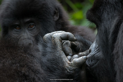 Mountain gorilla (Gorilla beringei beringei). detail of Hands. Bwindi Impenetrable Forest. Uganda
