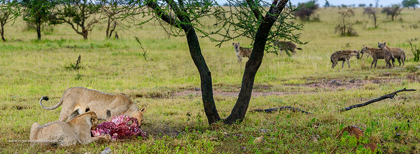 Lion (Panthera leo) feeding on a blue wildebeest or common wildebeest, white-bearded wildebeest or brindled gnu (Connochaetes taurinus) being watched by Spotted hyena or Laughing Hyena (Crocuta crocuta). Serengeti National Park. Tanzania