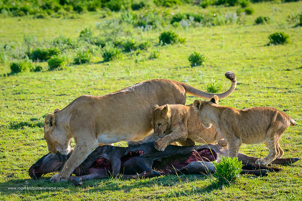 Lion (Panthera leo) dragging a Blue wildebeest or common wildebeest, white-bearded wildebeest or brindled gnu (Connochaetes taurinus) that they have killed while the cubs play with it. Ngorongoro Conservation Area (NCA). Tanzania