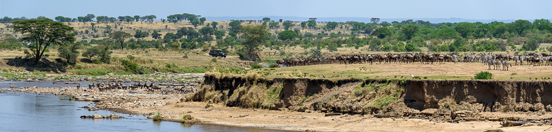 Tourists in safari vehicle watching Blue wildebeest or common wildebeest, white-bearded wildebeest or brindled gnu (Connochaetes taurinus) herd on the banks of the Mara River prior to crossing. Serengeti National Park. Tanzania