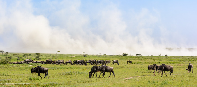 Blue wildebeest or common wildebeest, white-bearded wildebeest or brindled gnu (Connochaetes taurinus) with wind blown dust in the background. Ngorongoro Conservation Area (NCA). Tanzania