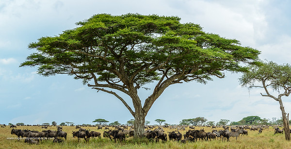 Plains zebra (Equus quagga, formerly Equus burchellii) and Blue wildebeest or common wildebeest, white-bearded wildebeest or brindled gnu (Connochaetes taurinus) standing underneath an Umbrella thorn acacia, also known as umbrella thorn and Israeli babool (Vachellia tortilis, prev Acacia tortilis). Serengeti National Park. Tanzania