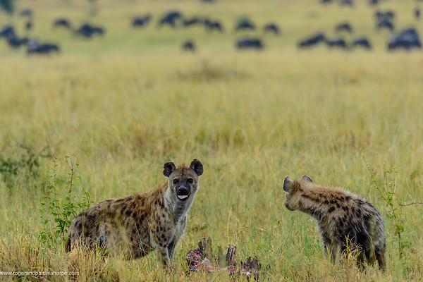 Spotted hyena or Laughing Hyena (Crocuta crocuta) with blue wildebeest or common wildebeest, white-bearded wildebeest or brindled gnu (Connochaetes taurinus) in the background. Serengeti National Park. Tanzania