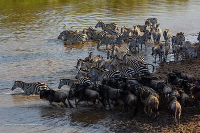 Plains zebra (Equus quagga, formerly Equus burchellii) and Blue wildebeest or common wildebeest, white-bearded wildebeest or brindled gnu (Connochaetes taurinus) crossing the Mara River.  Serengeti National Park. Tanzania