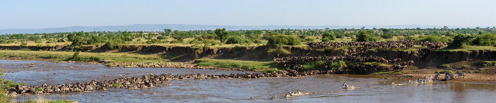 Blue wildebeest or common wildebeest, white-bearded wildebeest or brindled gnu (Connochaetes taurinus) crossing the Mara River.  Serengeti National Park. Tanzania