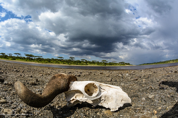 Blue wildebeest or common wildebeest, white-bearded wildebeest or brindled gnu (Connochaetes taurinus) skull at Lake Masek. Ngorongoro Conservation Area (NCA). Tanzania