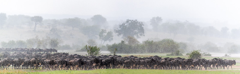 Image Number 10121692-Pano. I stitched 4 images together of these wildebeest in the pouring rain in Serengeti National Park. Fortunately they were all standing still - if it was a moving herd there would be some ghosting in the individual animals.