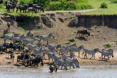 Blue wildebeest also called the common wildebeest, white-bearded wildebeest or brindled gnu (Connochaetes taurinus) and plains zebra also known as the common zebra or Burchell's zebra (Equus quagga, formerly Equus burchellii) drinking in the mara river. Serengeti National Park. Tanzania