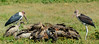 Rüppell's vulture or Rüppell's griffon vulture (Gyps rueppellii), marabou stork (Leptoptilos crumenifer) and African white-backed vulture or white-backed vulture (Gyps africanus) feeding on a Blue wildebeest or common wildebeest, white-bearded wildebeest or brindled gnu (Connochaetes taurinus) carcass. Ngorongoro Conservation Area (NCA). Tanzania