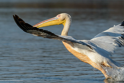 Great white pelican or eastern white pelican or rosy pelican or white pelican (Pelecanus onocrotalus). Lake Naivasha. Naivasha. Great Rift Valley. Kenya