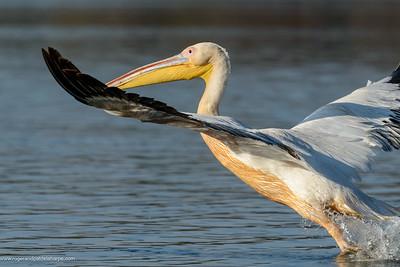 Great white pelican or eastern white pelican or rosy pelican or white pelican (Pelecanus onocrotalus). Lake Naivasha. Naivasha. Great Rift Valley. Kenya