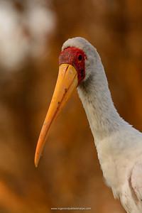 Yellow-billed Stork (Mycteria ibis) portrait. Lake Naivasha. Naivasha. Great Rift Valley. Kenya