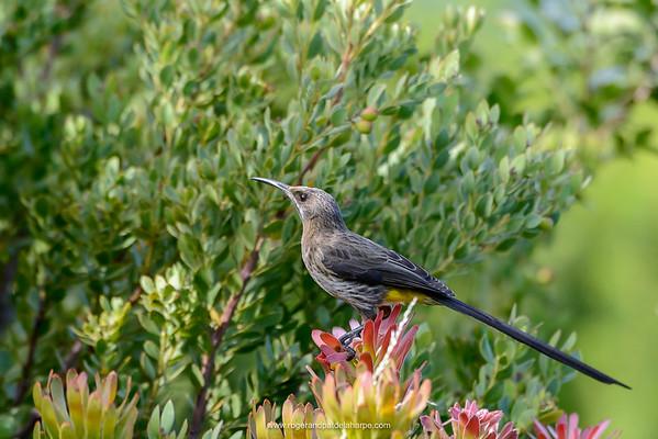 Cape sugarbird (Promerops cafer) Kirstenbosch Gardens. Cape Town. Western Cape. South Africa