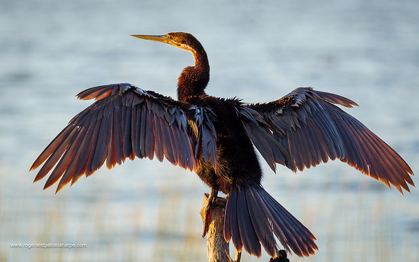 African darter or snakebird (Anhinga rufa). Garden Route. Western Cape. South Africa
