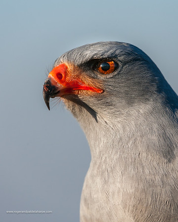(Southern) Pale Chanting Goshawk (Melierax canorus). South Africa