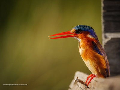 Malachite kingfisher (Corythornis cristatus). Garden Route. Western Cape. South Africa