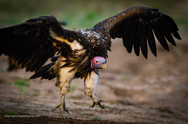 Lappet-faced Vulture or Nubian Vulture (Torgos tracheliotos). Timbavati Game Reserve. Limpopo Province. South Africa