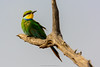 Little bee-eater (Merops pusillus). Madikwe Game Reserve. North West Province. South Africa