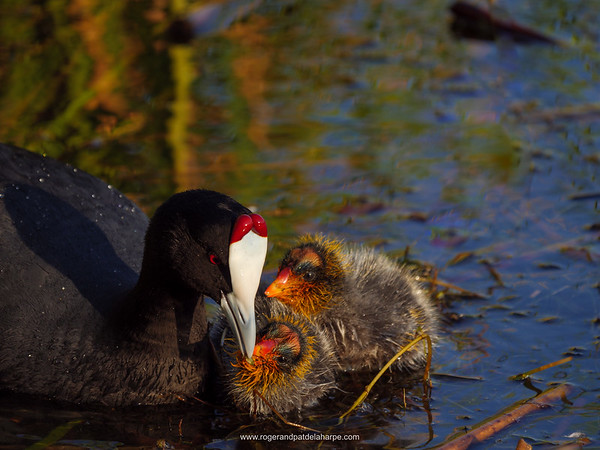 Red-knobbed coot or crested coot, (Fulica cristata) feeding chicks. Garden Route. Western Cape. South Africa