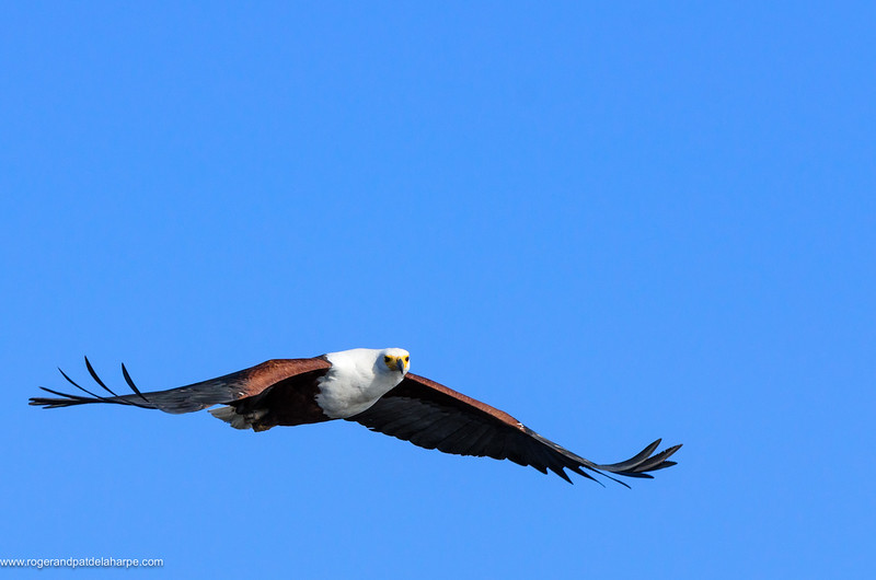 African Fish Eagle (Haliaeetus vocifer) in flight.  It is a large species of eagle that is found throughout sub-Saharan Africa wherever large bodies of open water occur that have an abundant food supply. It is the national bird of Zimbabwe and Zambia. Chobe National Park. Botswana
