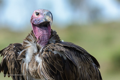 Lappet-faced vulture or Nubian vulture (Torgos tracheliotos). Serengeti National Park. Tanzania