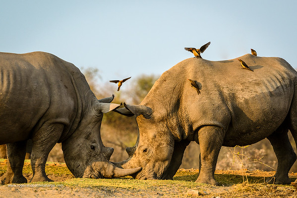 White rhinoceros or square-lipped rhinoceros (Ceratotherium simum) fighting as Red-billed (Redbilled) Oxpeckers (Buphagus erythrorhynchus) land on them. Madikwe Game Reserve. North West Province. South Africa