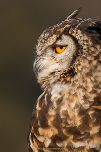 Spotted eagle-owl or eagle owl (Bubo africanus). KwaZulu Natal Midlands. South Africa