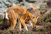 Ethiopian wolf (Canis simensis) also know as Abyssinian wolf, Simien wolf, Simien jackal, Ethiopian jackal, red fox, red jackal. Bale Mountains National Park. Ethiopia.