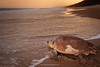 Loggerhead sea turtle (Caretta caretta) returning to the sea after nesting (laying eggs). iSimangaliso Wetland Park (Greater St Lucia Wetland Park). KwaZulu Natal. South Africa